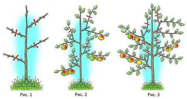 Как следует обрезать яблоню для урожайности