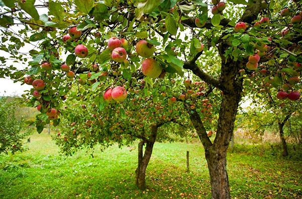 Обычно яблоня начинает плодоносить на 5–8 году
