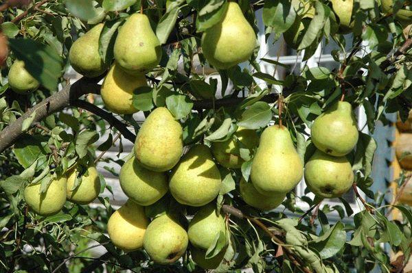 Популярный сорт груши Свердловчанка
