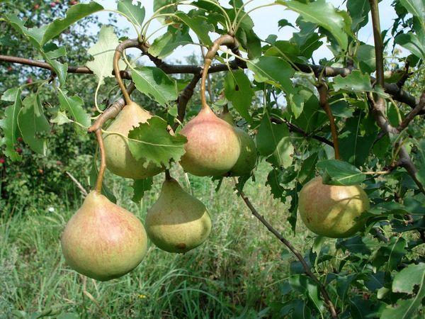 Собирают урожай в последнюю неделю августа и в начале сентября