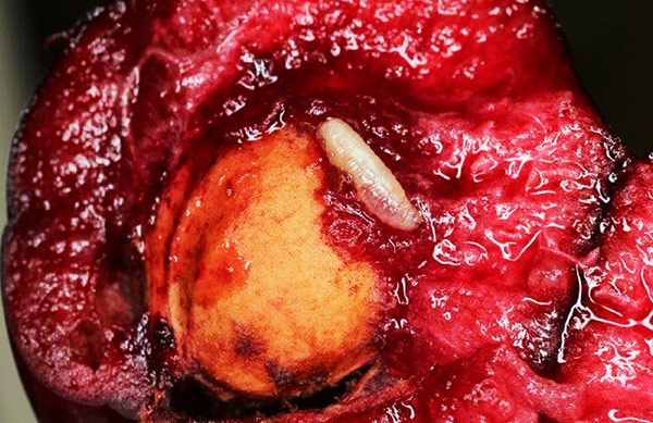 Неизвестно, почему личинки вишневой мухи оказываются в плодах
