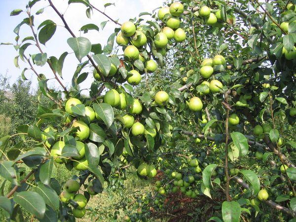 Взрослое дерево несколько раз за сезон подкармливают удобрениями