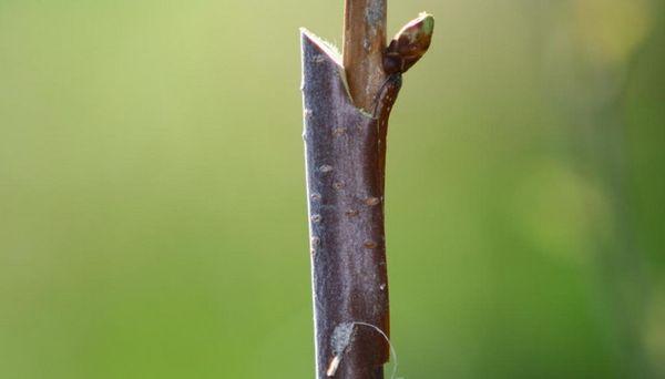 Прививка дерева - процесс непростой