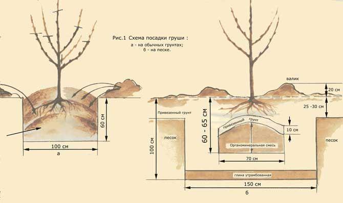 Схема правильно посадки груши
