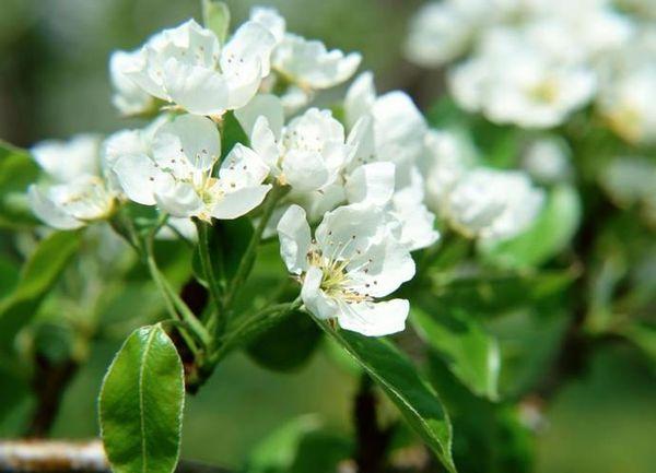 Любимица Яковлева – сорт позднего цветения