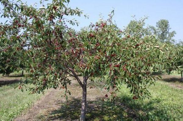 Деревья данного сорта частично самоплодны