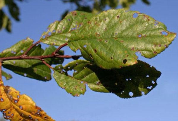 Клястероспориоз вишни поражает листья, цветы и побеги
