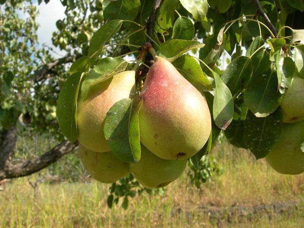 Груша Лесная красавица – очень урожайный сорт