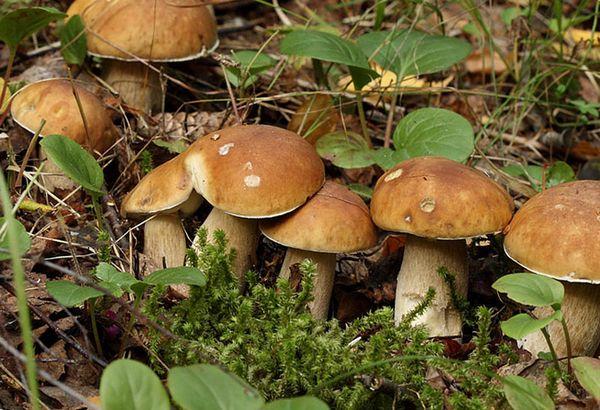 Для посадки грибов выбирают затемненное место