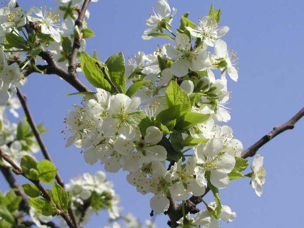 Русская красавица - самоплодное фруктовое дерево