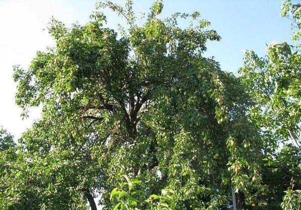 Взрослую грушу поливают несколько раз за сезон