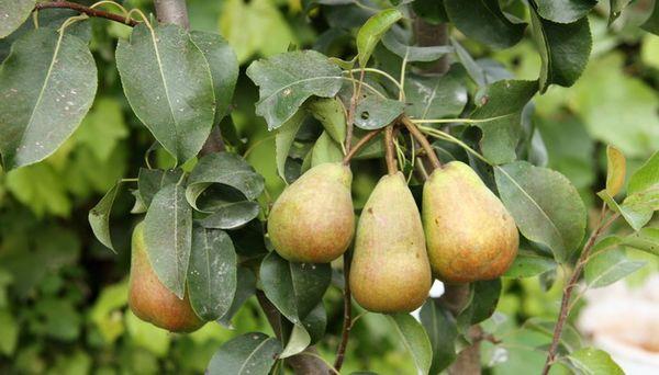 У Феерии высокая степень сохраняемости плодов