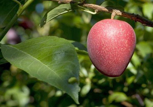 Сливово-вишневое чудо