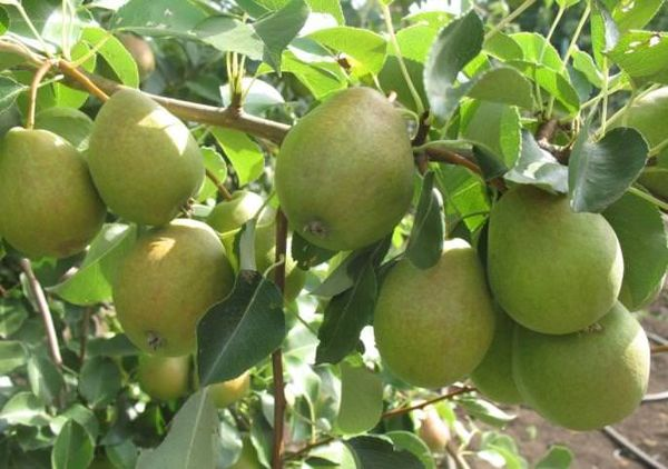 Урожайность у груши Декабринка высокая