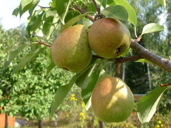 Осенние сорта созревают позже летних, но дольше хранятся