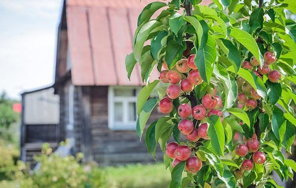 Короткий срок плодоношения колоновидных яблонь отпугивает садоводов