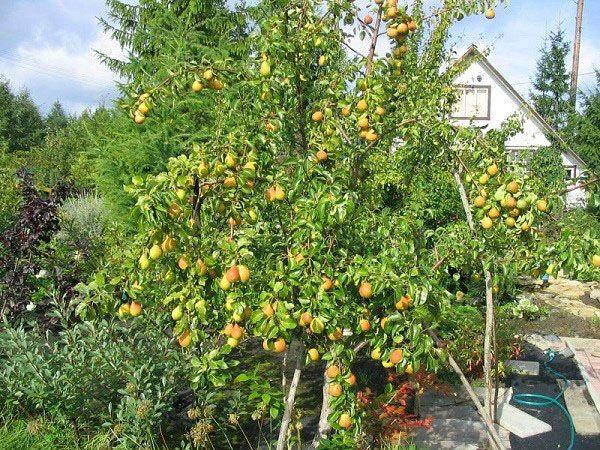 У сорта Лада раннее плодоношение
