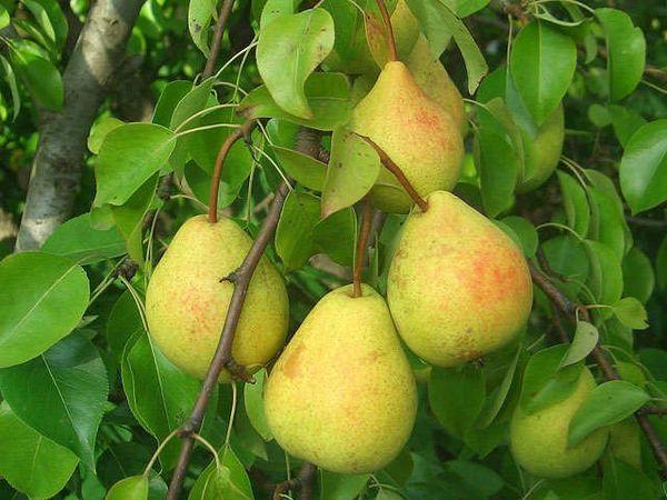 Плоды Белорусской поздней способны сохранить вкусовые качества до весны