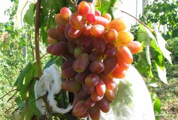 Виноград Преображение совместим с любыми видами подвоев