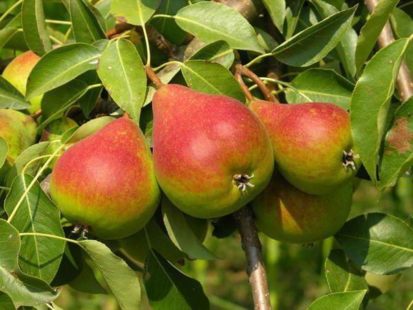 Сорт плодоносит на 7–8 год жизни дерева