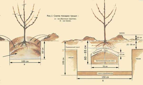 Схема посадки груши в саду