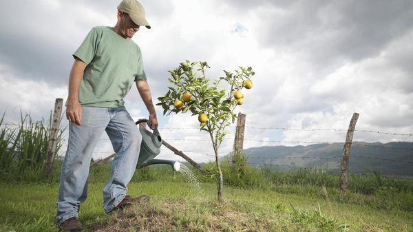 Молодое дерево поливают ежемесячно