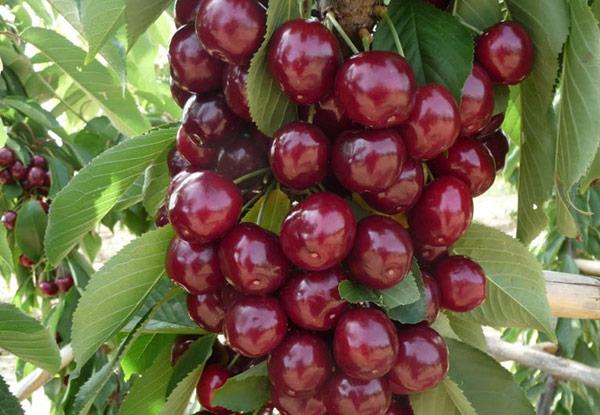 Колоновидная вишня: сорта, описание, посадка и уход