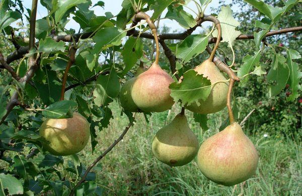 Груша Памяти Яковлева - быстрорастущее небольшое дерево