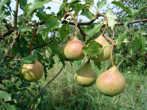 Спелые фрукты становятся желтыми, почти золотистыми
