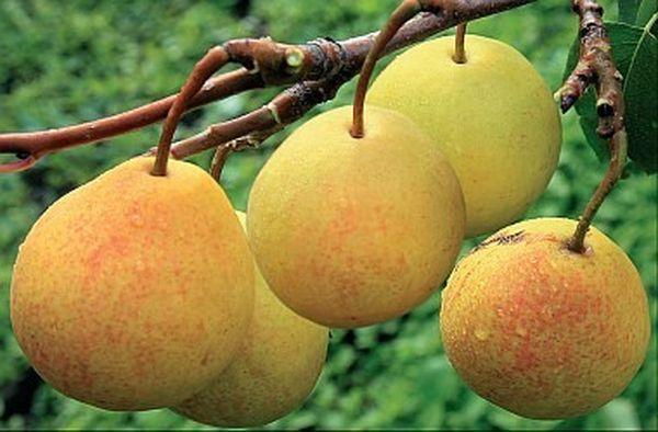 Бергамот московский начинает плодоносить с 4 лет