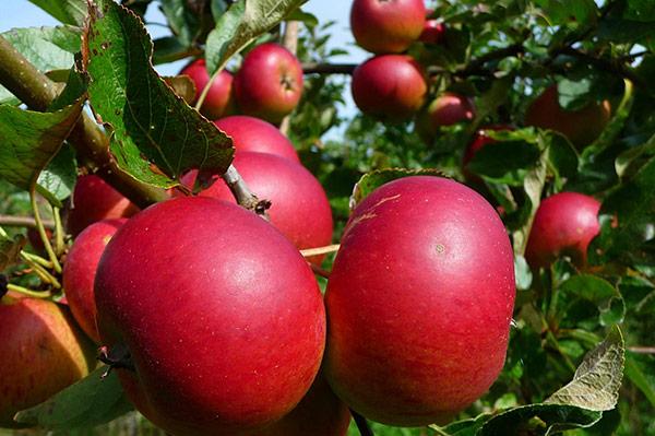 Впервые Услада начинает плодоносить через 4–5 лет