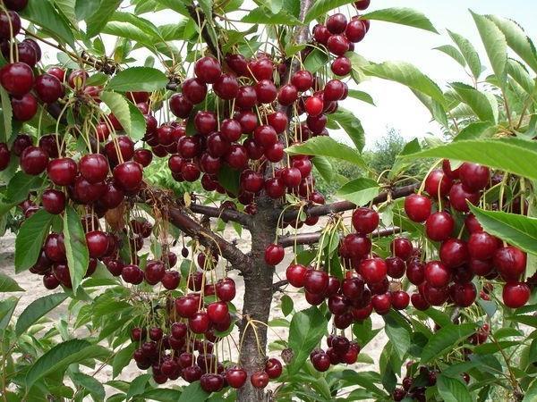 Вишня Уральская рубиновая имеет хорошую урожайность