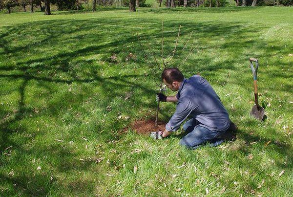 Дерево не переносит близкого прилегания грунтовых вод