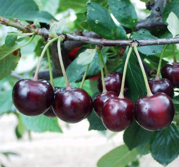 Плоды Морозовка весят до 5,5 г