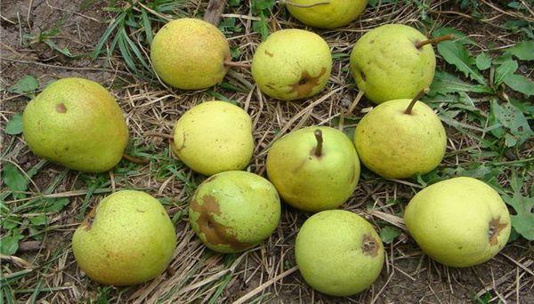 Популярный сорт груши Талица