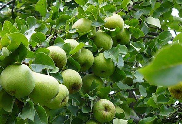 Груша Москвичка характеризуется высокой урожайностью
