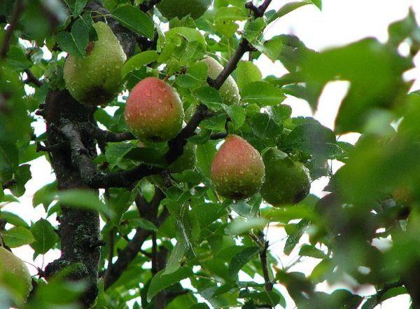 Грушевое дерево Форели достигает средней высоты 5–6 м