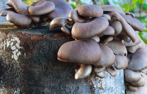 Существует несколько способов выращивания грибов на пеньках