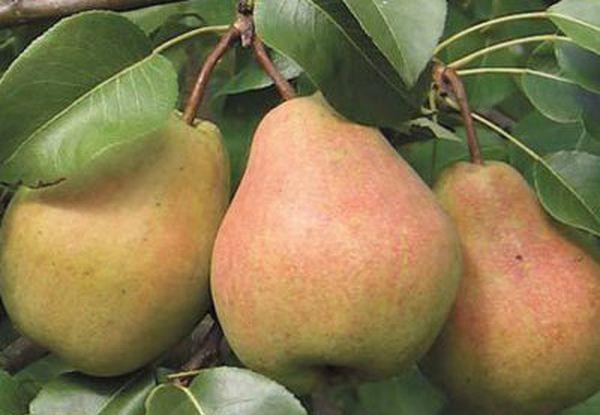 Высаживают Кафедральную грушу осенью или весной