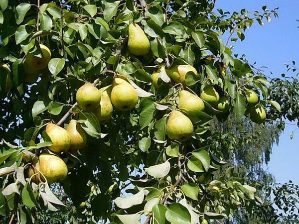 Плоды сорта имеют классическую грушевидную форму