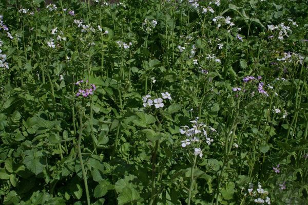 Чтобы предотвратить цветение, редьку необходимо регулярно поливать