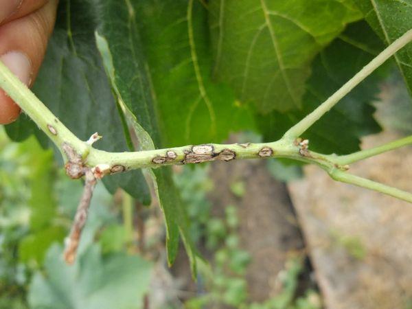 Антракноз винограда (другое название – «птичий глаз»)
