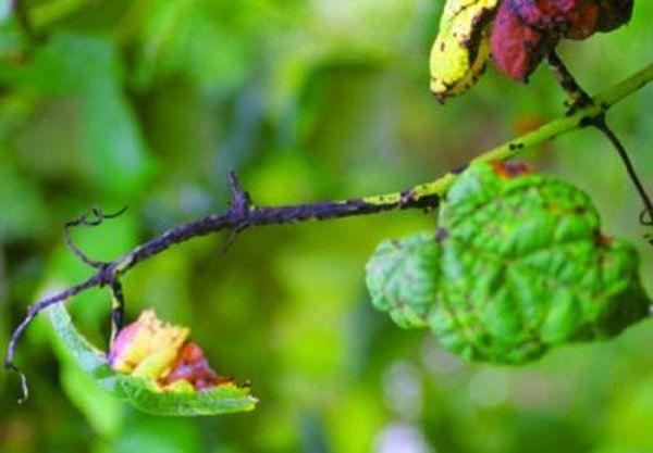 Антракноз винограда: меры борьбы и применение фунгицида