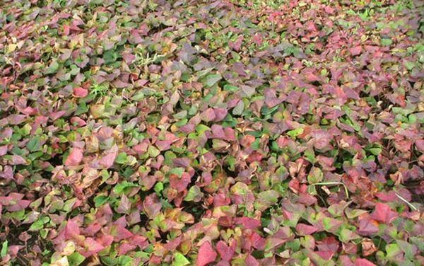 Ростки батата на огороде
