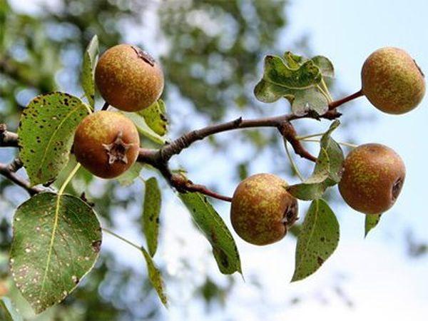 Популярный сорт Кавказская груша