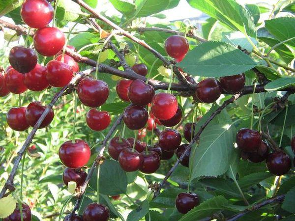Популярный сорт вишни Апухтинская