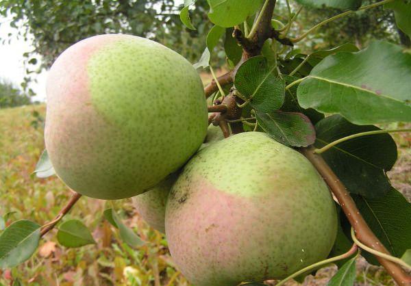 Дерево груши под названием Россошанская сильнорослое