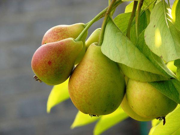 Вес плодов груши Сомова могут достигать 280 гр.