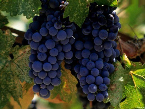 Виноград Изабелла относительно устойчивый к болезням сорт