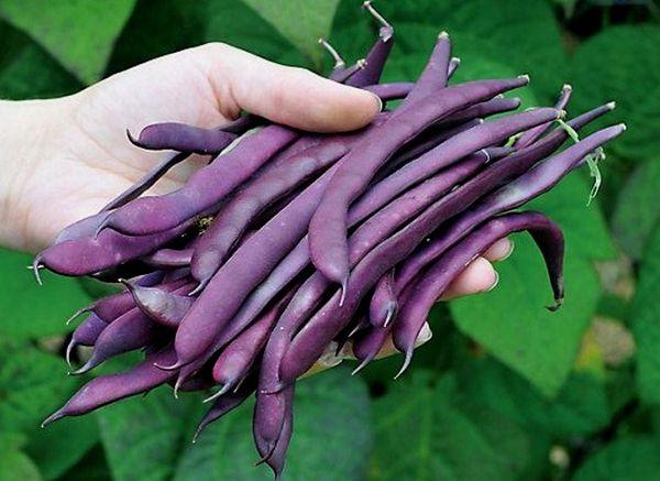 Фиолетовая – бобовая культура с желто-фиолетовыми стручками